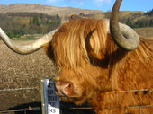 highland_cow2