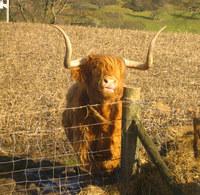 highland_cow_3